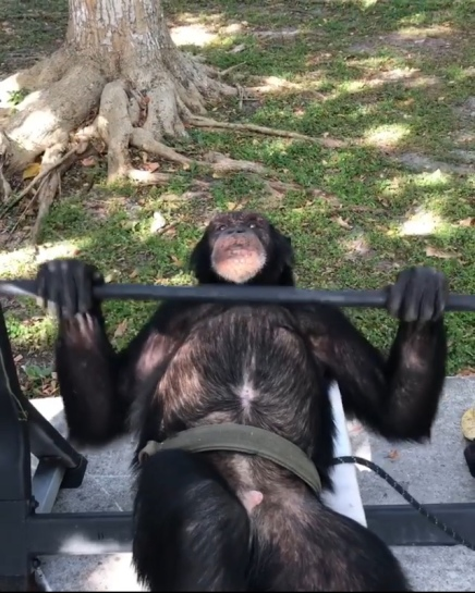 Monkey Doing Bench Press @therealtarzann ( VIRAL FLAME NETWORK)